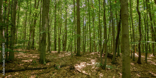 dense beech forest in summer. beautiful nature environment on a sunny day. tall trees in green foliage #438108970