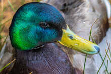 Vibrant Duck In The Mountains