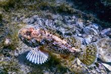 Scorpion Fish Underwater Underwater Life. Scorpionfish (Scorpaena Notata)