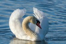 Male Mute Swan Swimming