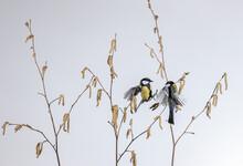 Cute Tit Birds Sitting On Tree Twigs