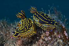 Sea Slugs With Gills Swimming In Pure Water