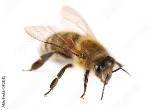 Canvas Honeybee isolated on white background