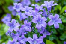 Deep Purple Flowers Of Campanula Portenschlagiana, The Wall Bellflower, During Springtime