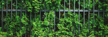 Green Plant Wall And Fence As Plant Texture, Nature Background And Botanical Design.