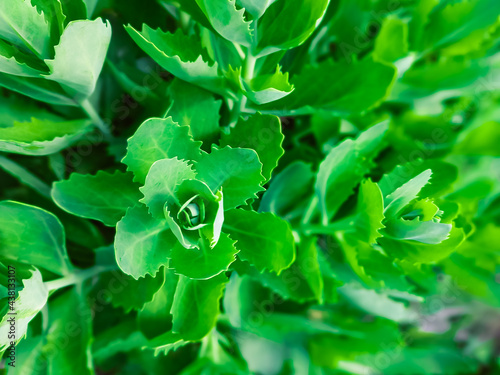 Fotografia Green bush-like cabbage background with copy space