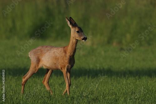 Fotografie, Obraz roe deer in the field, Polish wild nature