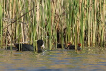 Coot Duck With Young, Animal Family On The Lake,Poland