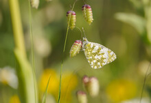 Western Dappled White, Butterfly, (Euchloe Crameri), On Briza Maxima, Quaking Grass, Andalucia, Spain