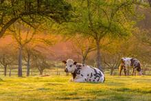 Animal Ferme Vache 501