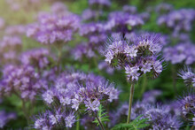 Blue Phacelia Flower In Bloom Close-up. Blurry Sunny Background. Annual Pollinator Friendly Plant. Cover Soil Crop. Flower For Bees. Green Manure.