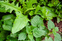 Young Nettles Grow In The Forest, Among Grass And Dandelions Leaves. Close-up Green Dandelions And Nettles Leaves. Horizontal Image. View Of Freshly Green Plant Leaves Of Edible Natural Wild Nettles