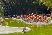 Group Of Flamingos In San Diego Zoo, California