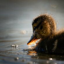A Cute Mallard Duckling Swimming On The Lake