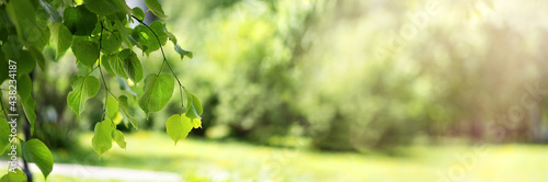 Stampa su Tela Green fresh birch leaves on a blurred background in the sunlight