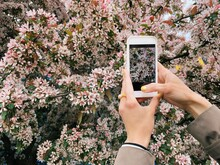 Woman Taking A Photo Of Cherry Blossom Flowers With Her Mobile Phone, Belarus