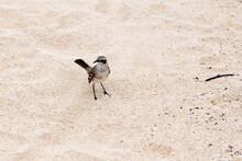 High Angle View Of Mockingbird Standing On Deserted Islet Beach Close To San Cristobal, Galapagos, Ecuador
