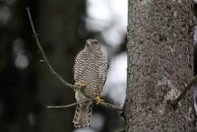 Bird Of Prey Landing In A Dark Forest. Close-up Portrait. Goshawk, Accipiter Gentilis