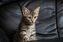 Intense Gaze Of Kitten Sitting