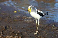 Weißscheitelkiebitz / White-crowned Lapwing Or White-headed Lapwing / Vanellus Albiceps