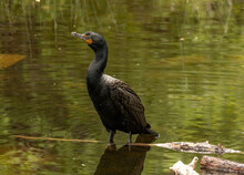 Double-crested Cormorant At Davis Creek In Washoe Valley, Nevada