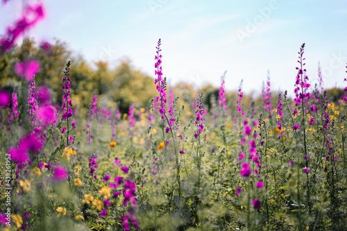 Fotografering Field of purple delphinium flowers