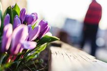 Purple Crocuses Blooming In Spring.
