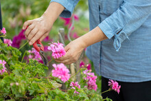 Hands Of Middle Age Woman Gardener. Woman Working With The Garden In Summer Day. Flower Care And Gardening, Hobby.