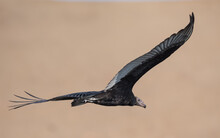 Young Turkey Vulture Crossing The Desert