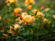 Leinwandbild Motiv Rose Bush in Bloom