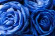 Leinwandbild Motiv Beautiful blue roses as background, closeup