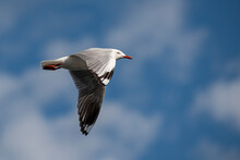 Seagull In Flight With Wings Fully Spread With Partial White Clouds And Blue Sky In The Background