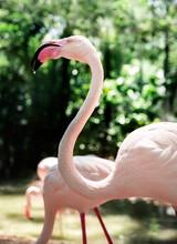 Closeup Of Pink Flamingo Bird At The Zoo