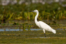 The Little Egret, Egretta Garzetta, Standing In A Shallow Water With Green Vegetation Floating On A Surface In Wetland. White Heron In A Swamp Of Danube Delta, Romania. Animal Wildlife In Natural
