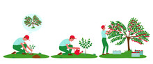 Cherry Tree Care Illustrations Set. The Gardener Has Planted A Plant. Watering A Cherry Tree From A Watering Can. The Gardener Collects Cherries In Boxes. Flat Vector Illustration.