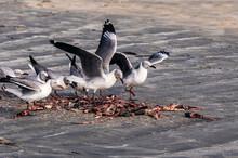 Sea Gulls Eating Fish Guts Offal At Wharf