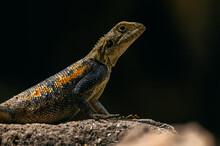 Lizard Iguana Resting On Stone