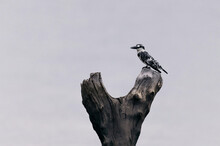 Pied Kingfisher Bird Resting On Piece Of Wood