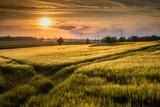 Fototapeta Na sufit - pole jęczmienia w ciepłym świetle wieczornego słońca