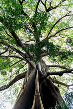 Trunk Of Baobab Tree With Leafy Branches