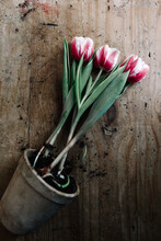 Potted Pink Tulips On Old Rustic Table