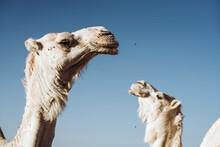 Camels In Desert Of Sahara