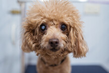 Curious Small Brown Poodle Dog After Clipping Fur In Grooming Salon