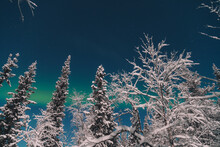 Trees In Snow And North Light On Sky