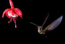 Hummingbird Flying Around A Beautiful Flower