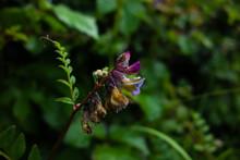 Purple Wildflower On A Natural Dark Green Background