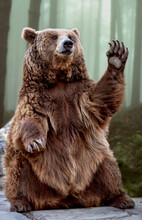 Grizzly Bear Sitting While Waving With Its Paw.