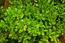 Close-up Leaves Of Crassula Ovata (also Known As Jade Plant, Lucky Plant, Money Plant Or Money Tree), Succulent Plant Native To The South Africa, Common As A Houseplant Worldwide