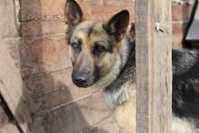 Dog, Shepherd, German, Animal, Pet, Canine, German Shepherd, Portrait, Mammal, Cute, Pets, Brown, Domestic, Alsatian, Animals, Purebred, Breed, Guard, Fur, Black, Young, Sheepdog, Puppy, Looking, Natu
