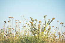 Wild Plant In A Meadow. Thorny Weeds Background.